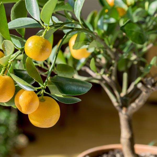Valencia-Orange-Tree-06.jpg
