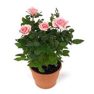 Где купить цветы в горшке в иваново подарок в знак благодарности женщине